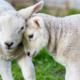 羊を育てて2億円!!超高額で取引される観賞用の羊とは!!?