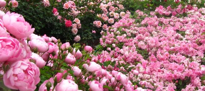 花菜ガーデンのバラ