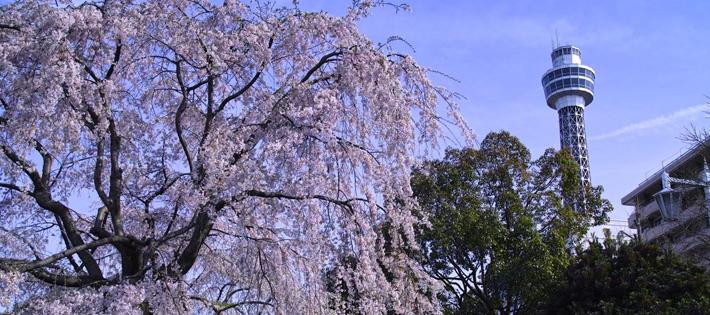 横浜デートにぴったりな桜の名所