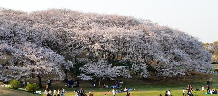 根岸公園の桜