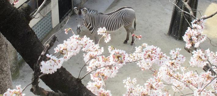 野毛山動物公園の桜