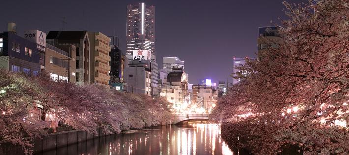 大岡川の満開の桜