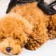 毛の抜けにくい犬種ランキング!家で飼うのに適した10種を徹底紹介!!